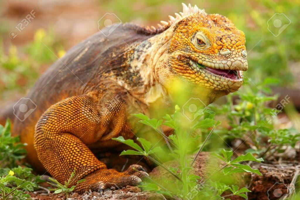 Tipos o Variedades de Iguana 6
