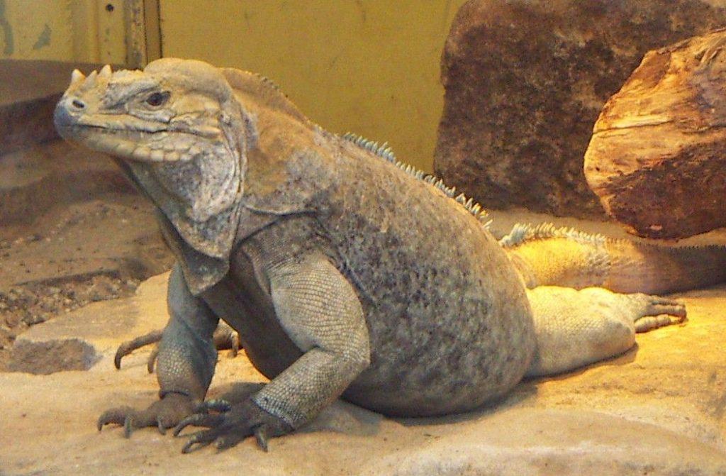 Tipos o Variedades de Iguana 2