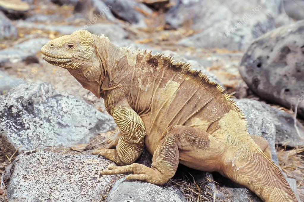 Tipos o Variedades de Iguana 4