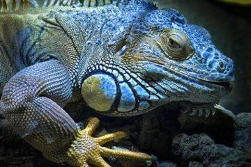 5 Razones por las que Debes de Tener una Iguana 1