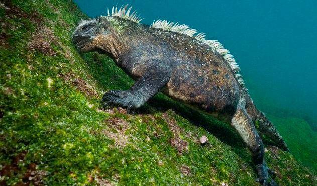 Tipos o Variedades de Iguana 1