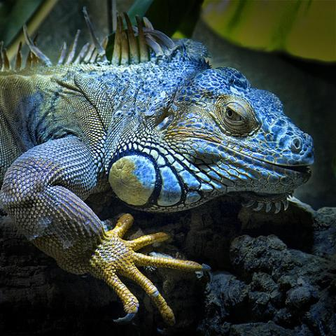 Tipos o Variedades de Iguana 7