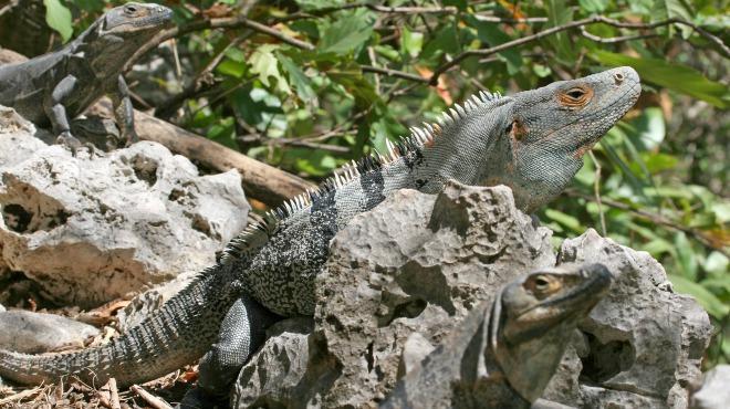 Tipos o Variedades de Iguana 3